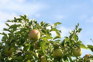 Adopt an Apple Tree