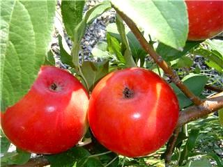 Carpenter Nature Center Apples