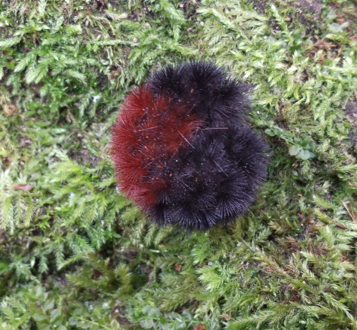 Woolly Bears