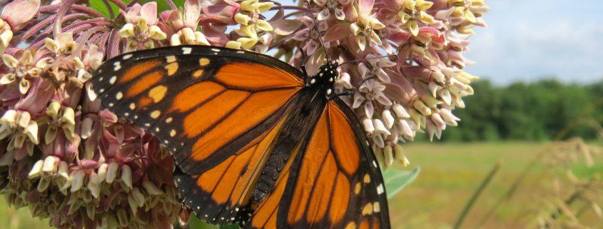 Monarch & Milkweed