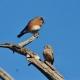 Eastern Bluebirds by Paul Blanchard